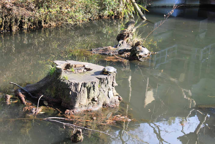 Red-eared sliders, an invasive species of turtle. Spot all three turtles in the picture for a prize!